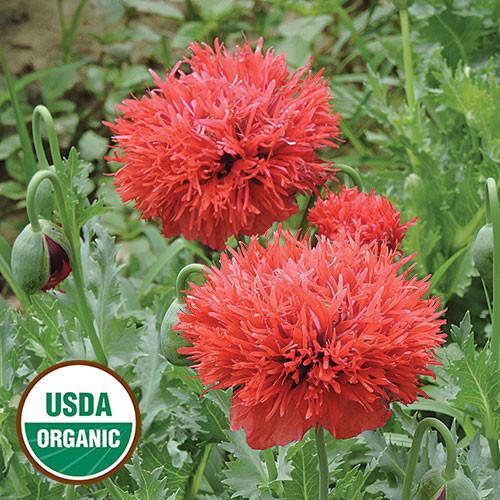 Seed Savers - Chima Family Heirloom Poppy