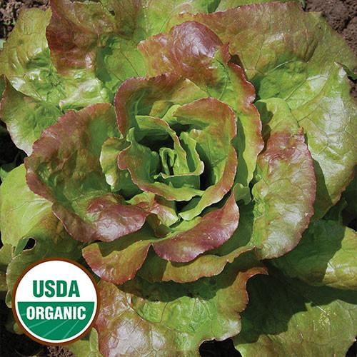 Seed Savers - Grandma Hadley's Lettuce