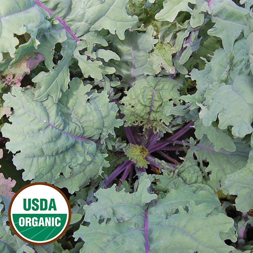 Seed Savers - Red Russian Kale