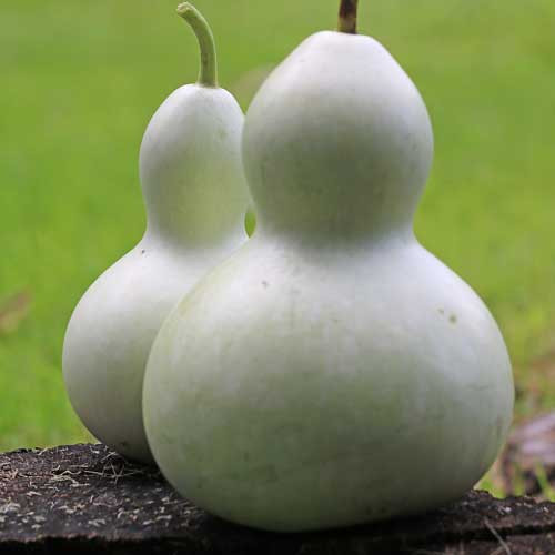 Seed Savers - Birdhouse Gourd