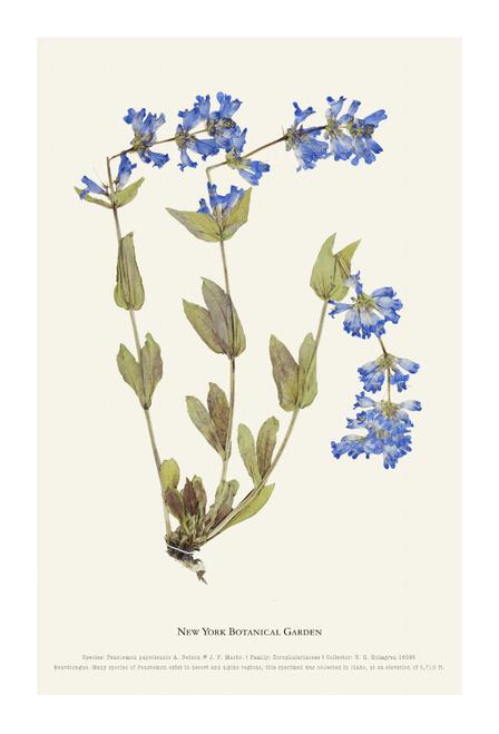 NYBG Herbarium Penstemon Print