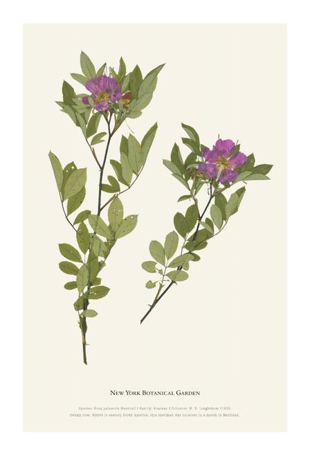 NYBG Herbarium Swamp Rose Print