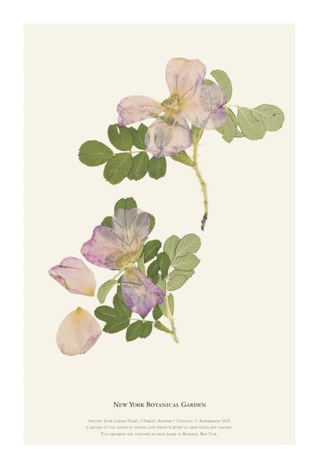 NYBG Herbarium Rose Rugosa Print