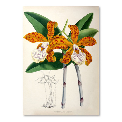 Fitch Orchid Cattleya Valutina 11x14 Print