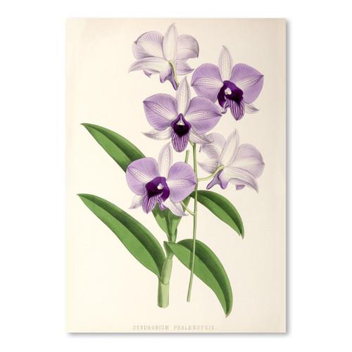 American Flat x NYBG Dendrobium Phlaenopsis 11x14 Print