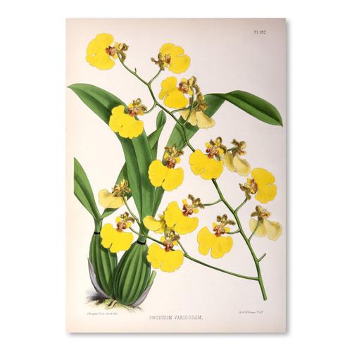 American Flat x NYBG Oncidium Varicosum 11x14 Print