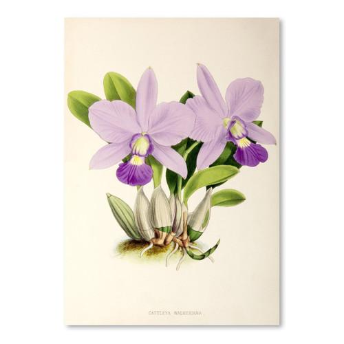 American Flat x NYBG Cattleya Walkeriana 8x10 Print