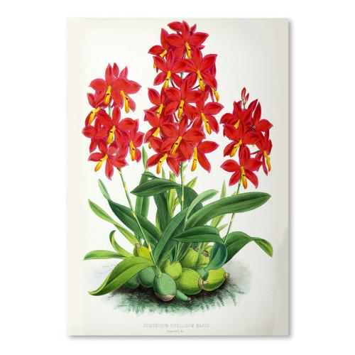 American Flat x NYBG Epidendrum Vitellinummajus 8x10 Print