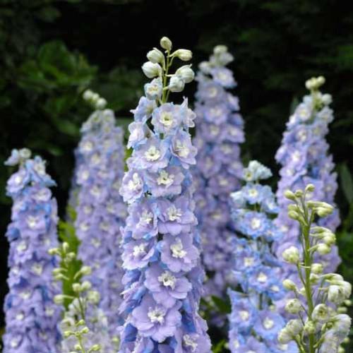 Seed Savers - Radiant Blue Delphinium