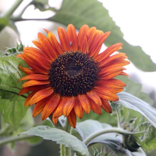 Seed Savers - Autumn Beauty Sunflower