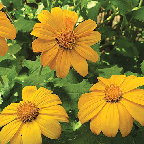 Seed Savers - Aztec Sun Sunflower