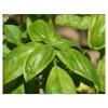 Basil (sweet) essential oil