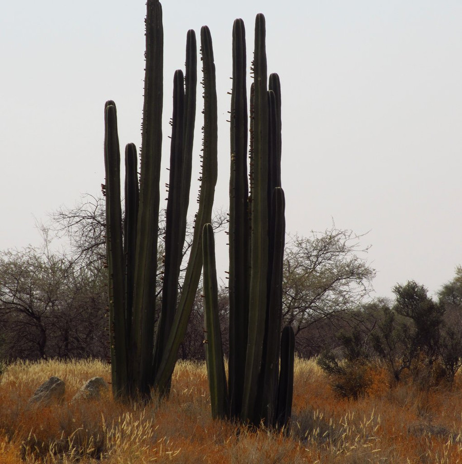 Giant cacti encountered in Namibia on our way to the mining area.