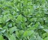 Cow Peas Food Plot Seed
