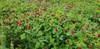 Crimson Clover Food Plot Seed