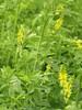 Yellow Blossom Clover