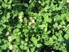 Balansa Clover Food Plot Seed