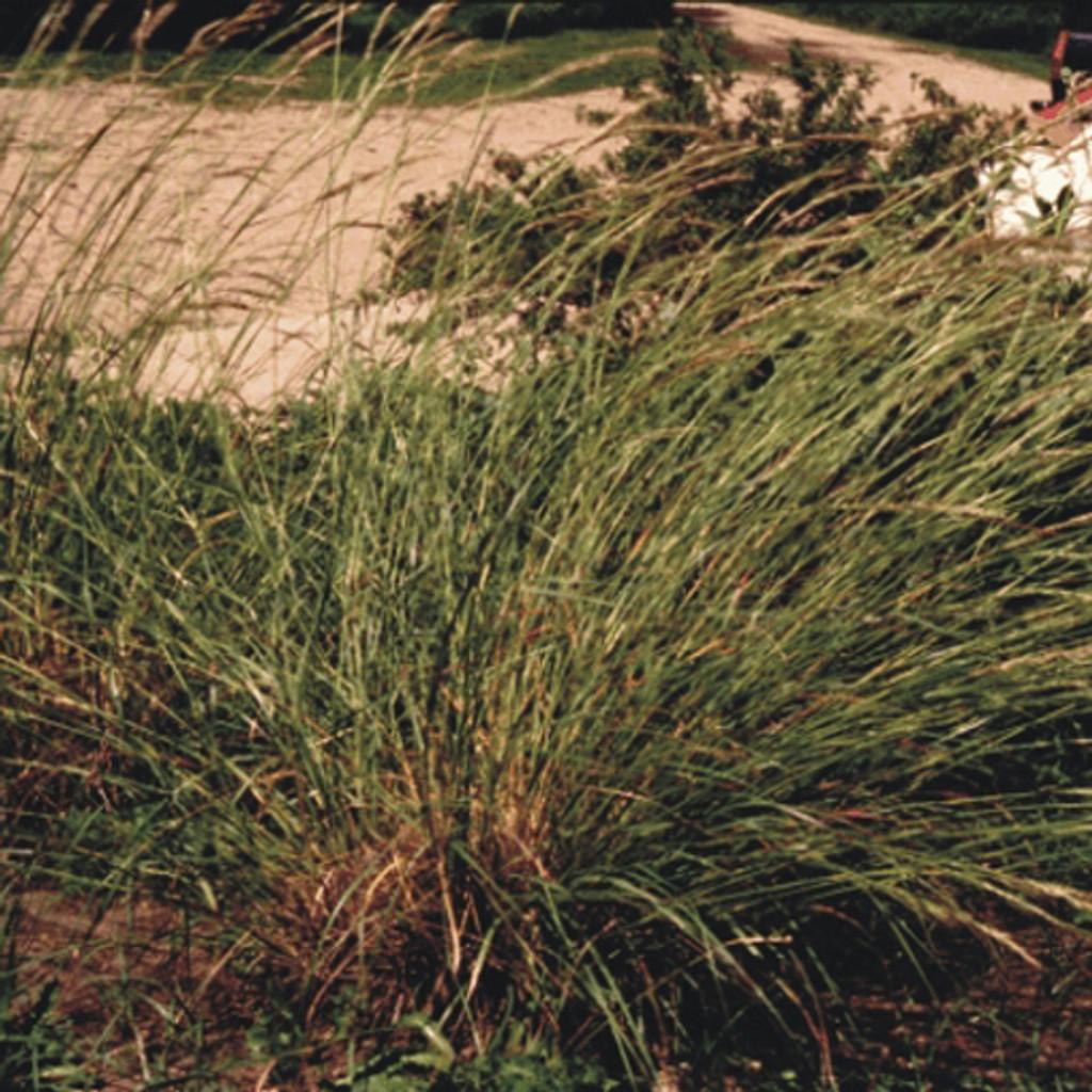 Green Needlegrass (Nassella viridula)