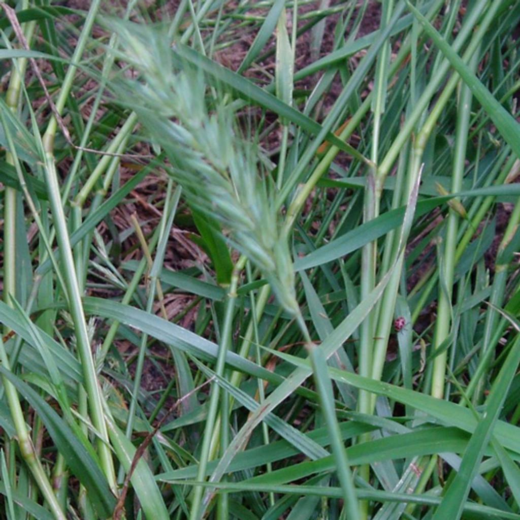 Virginia Wildrye (Elymus virginicus)