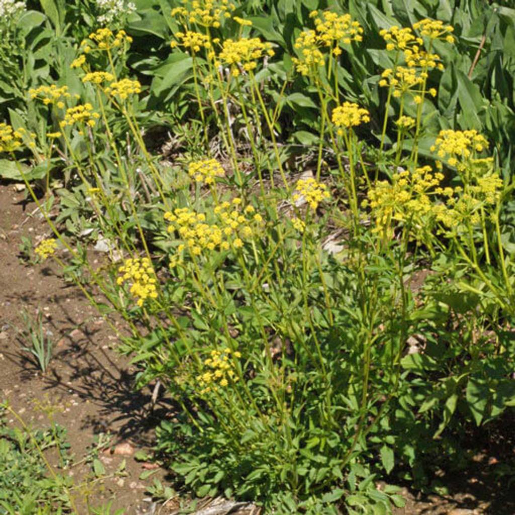 Golden Alexanders (Zizia aurea)