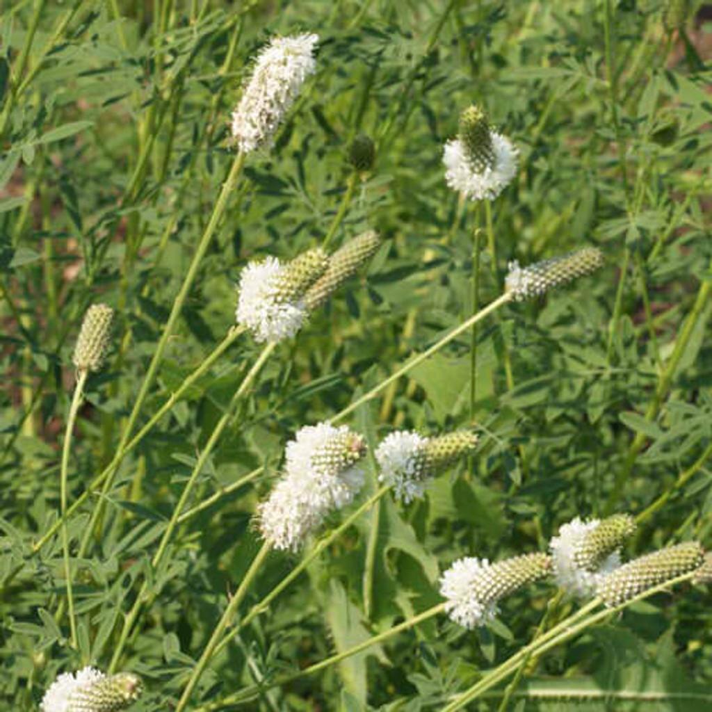 White Prairie Clover (Dalea candida)