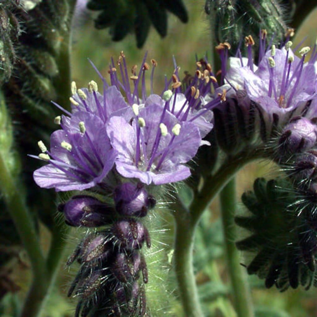Phacelia (Phacelia Tanacetifolia)