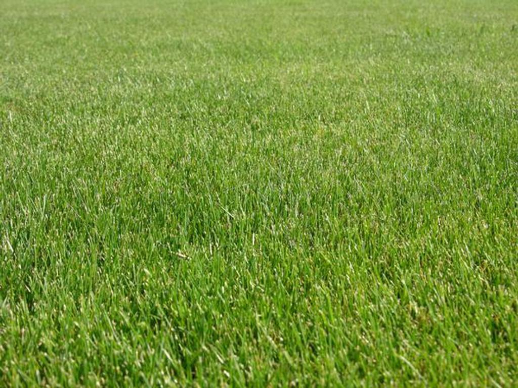 Turf Type Perennial Ryegrass