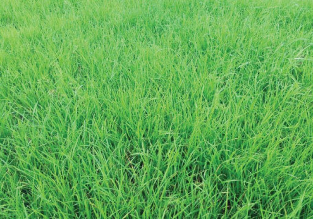 Annual Ryegrass