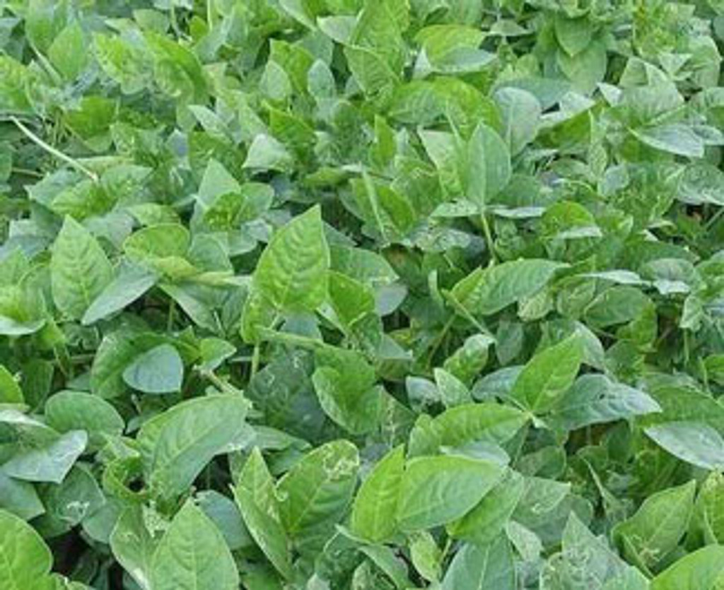 Cow Peas Food Plot Seed