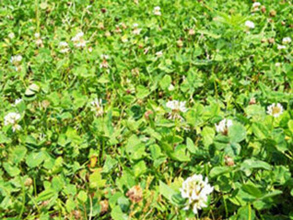 Ladino White Clover Food Plot Seed