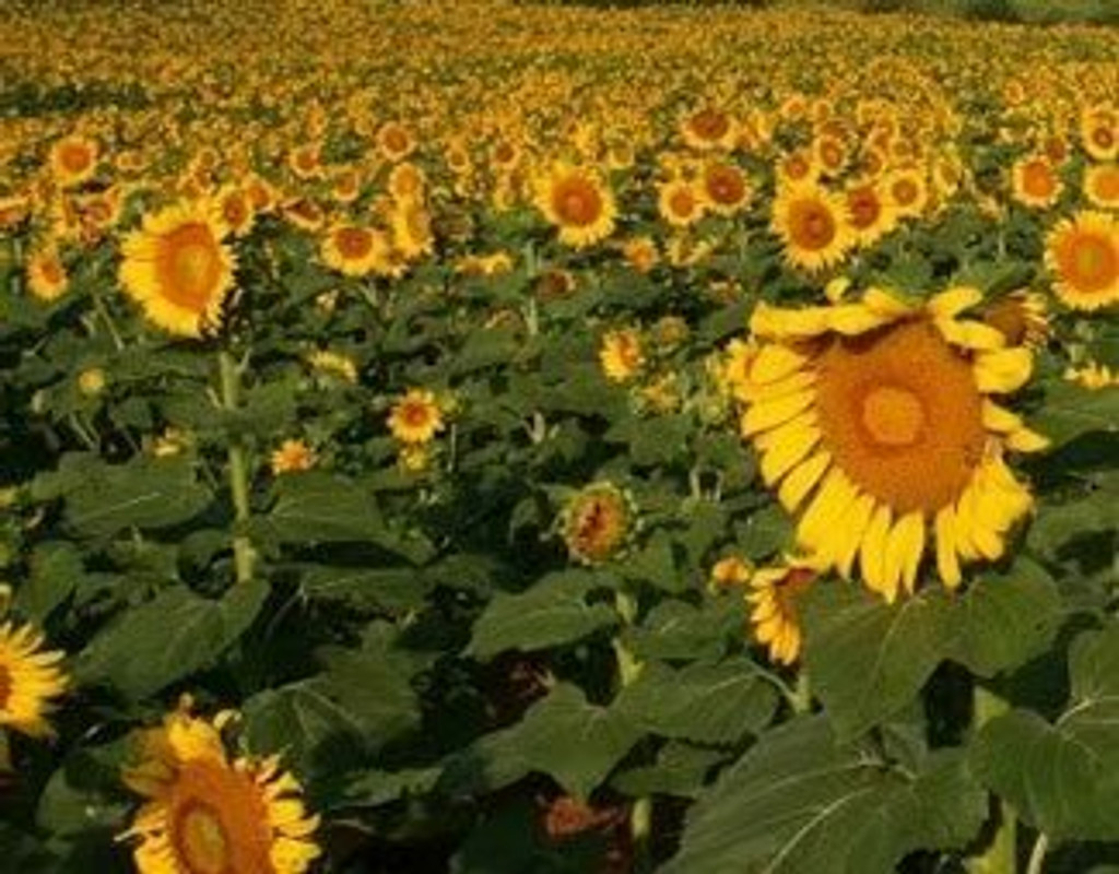 Peredovik Sunflower Seeds