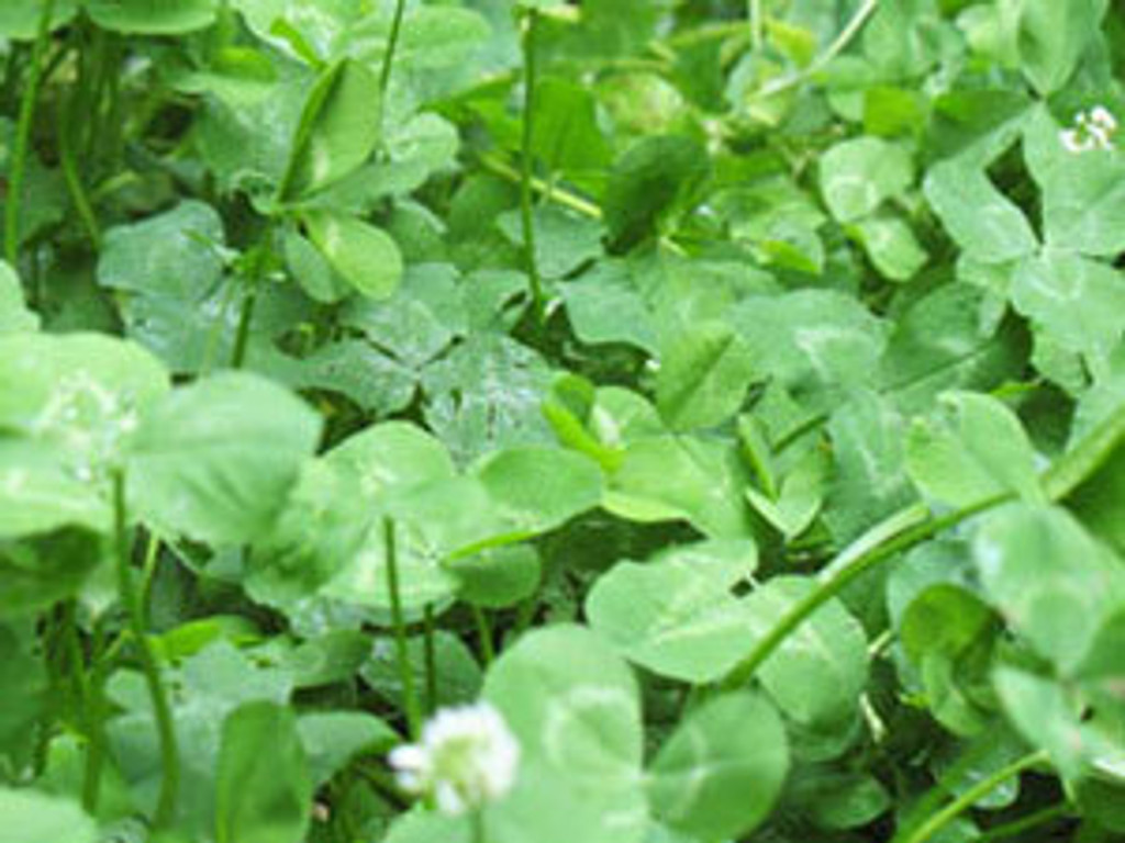 White Dutch Clover Food Plot Seed