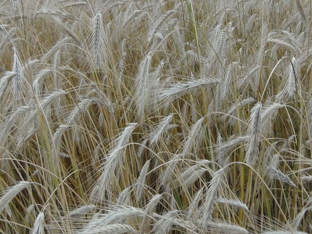 Winter Rye Seed