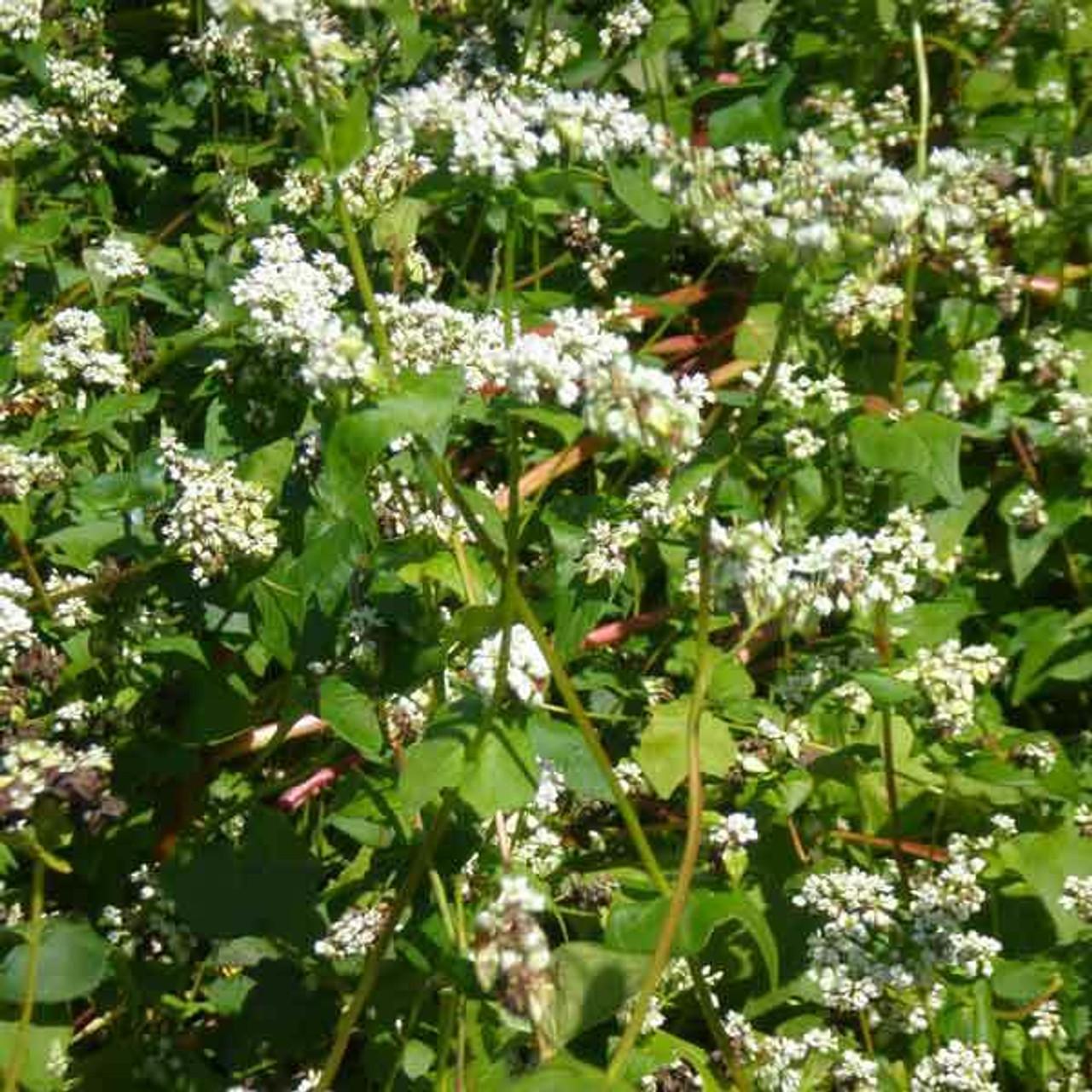 Buckwheat - 50#