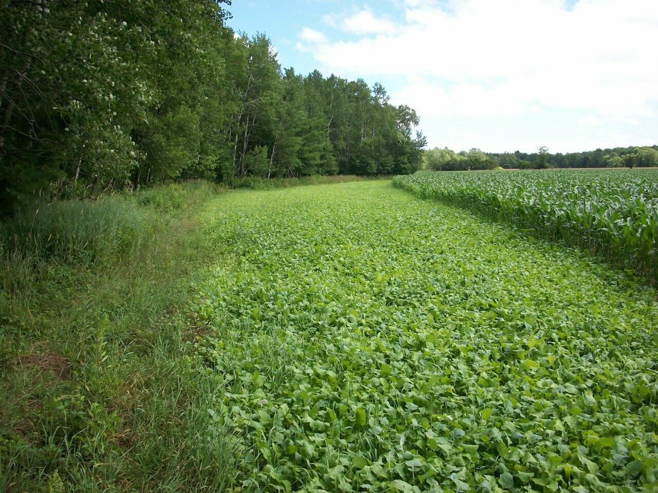 Turnip Food Plot Seed