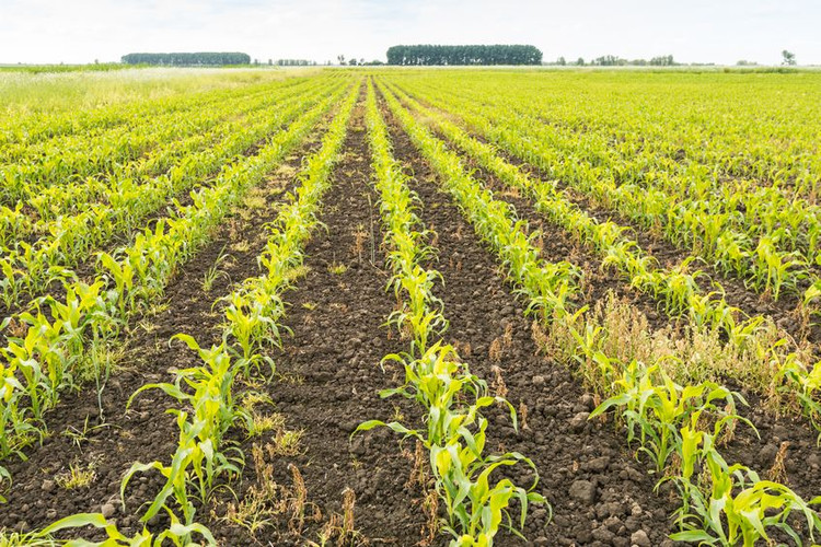 Cover Crop Forage Options for Corn Silage
