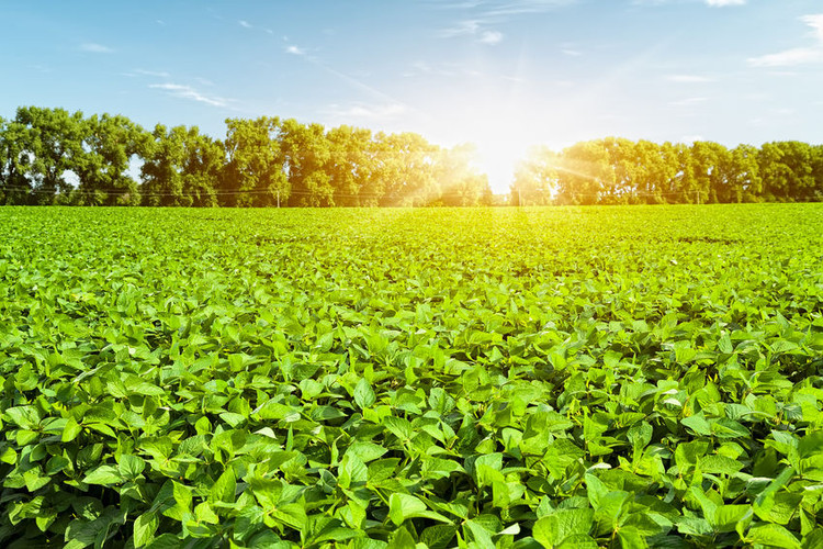Factors That Lead to Iron Deficiency Chlorosis in Soybeans