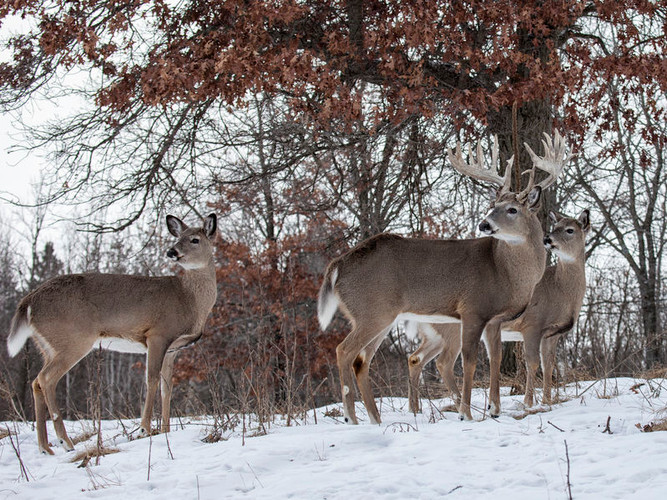 Are Winter Food Plots for Deer Necessary?
