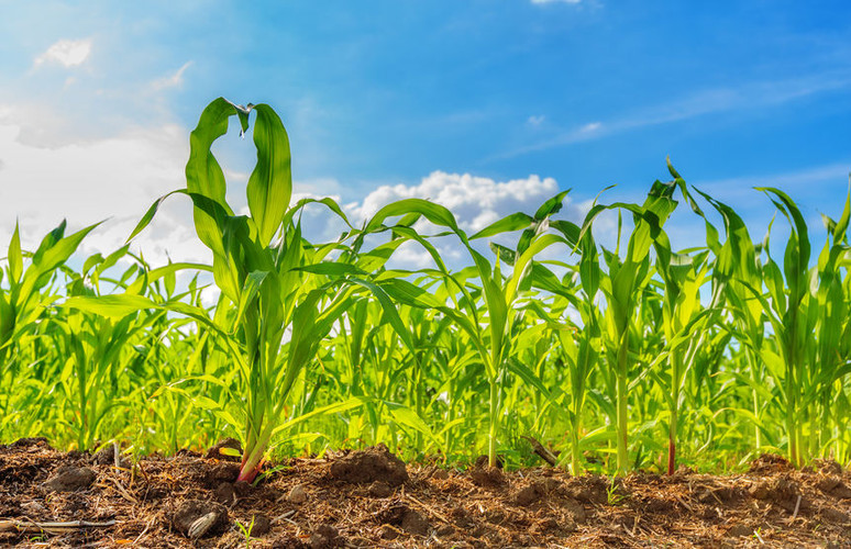 How to Prepare Your Seedbed Before Planting Corn