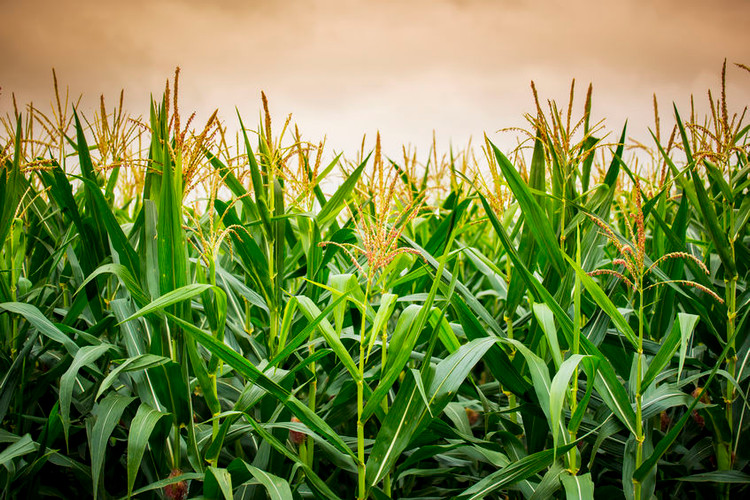 Tar Spots on Corn: How to Prepare for It This Season