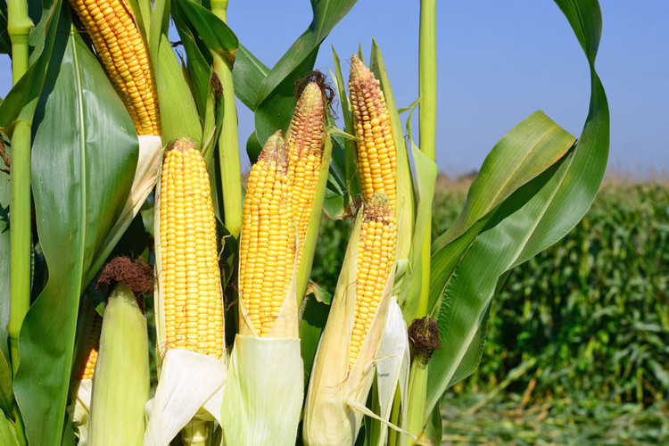 When to Harvest Your Corn This Year?