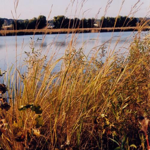 Prairie Cordgrass (Spartina pectinata)