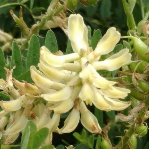 Canada Milk Vetch (Astragalus canadensis)