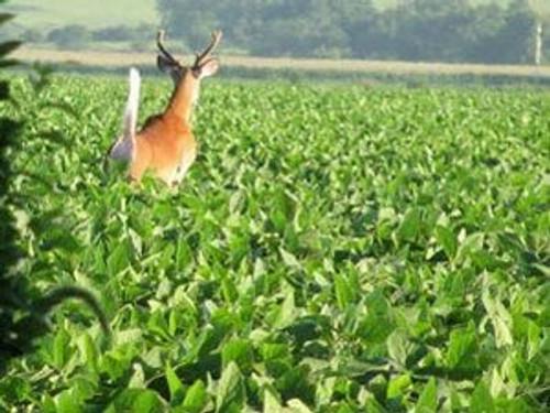 A deer running through a field of soybeans.