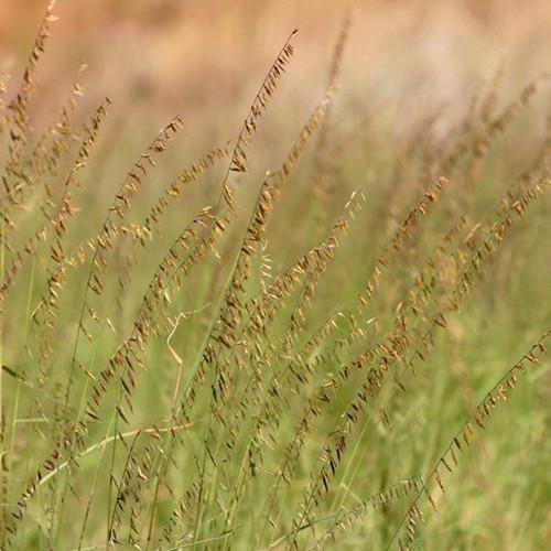 Sideoats Grama (Bouteloua curtipendula)