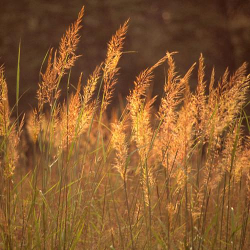 Indiangrass (Sorghastrum nutans)