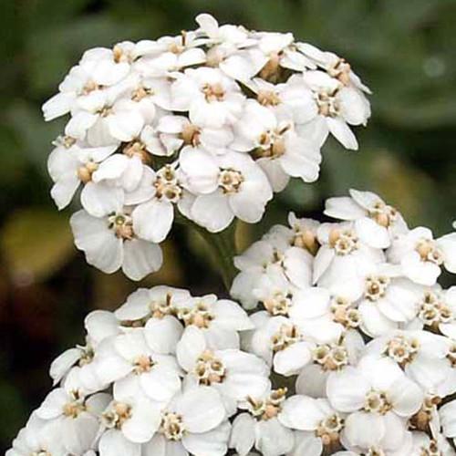 White Yarrow (Achillea millefolium)