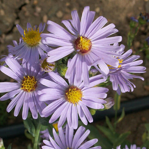 Smooth Blue Aster (Aster laevis)