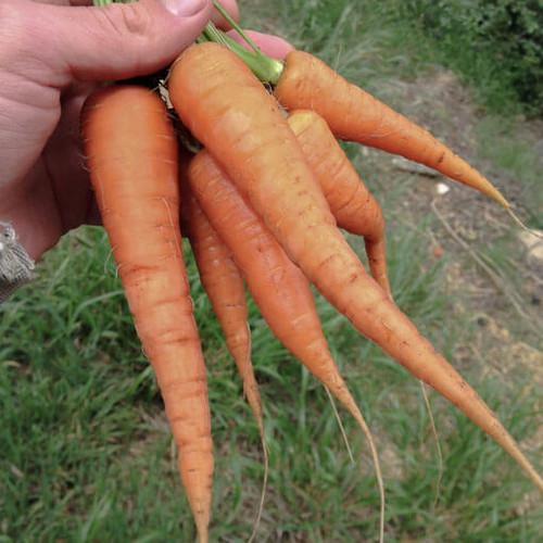 Danvers 126 Carrot