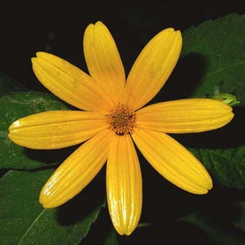 Ox-Eye Sunflower (Heliopsis helianthoides)